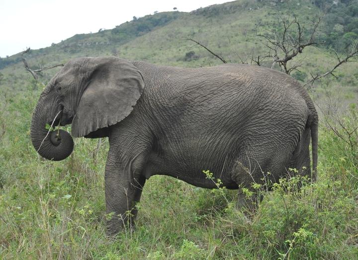 elephant hluhluwe (3)