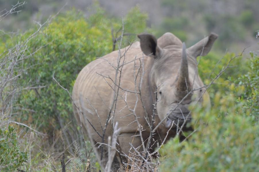 rhino hluhluwe (3)