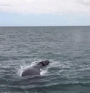 baleines hermanus (6)