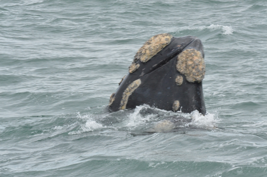 baleines hermanus walker bay (3)