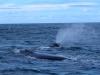 baleines hermanus (2)