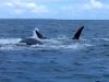baleines hermanus (4)