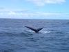 baleines hermanus (5)