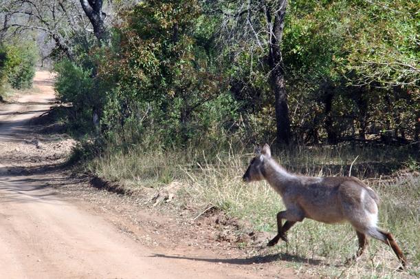 cobe chemin court Karongwe