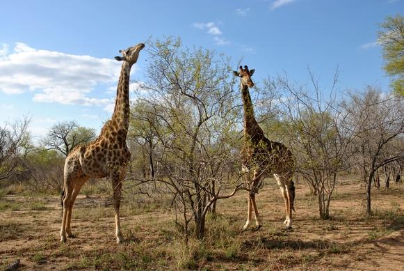 girafe Karongwe (2)