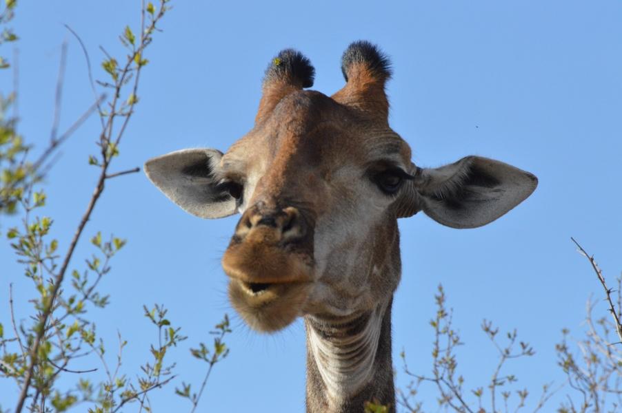 girafe Karongwe (3)