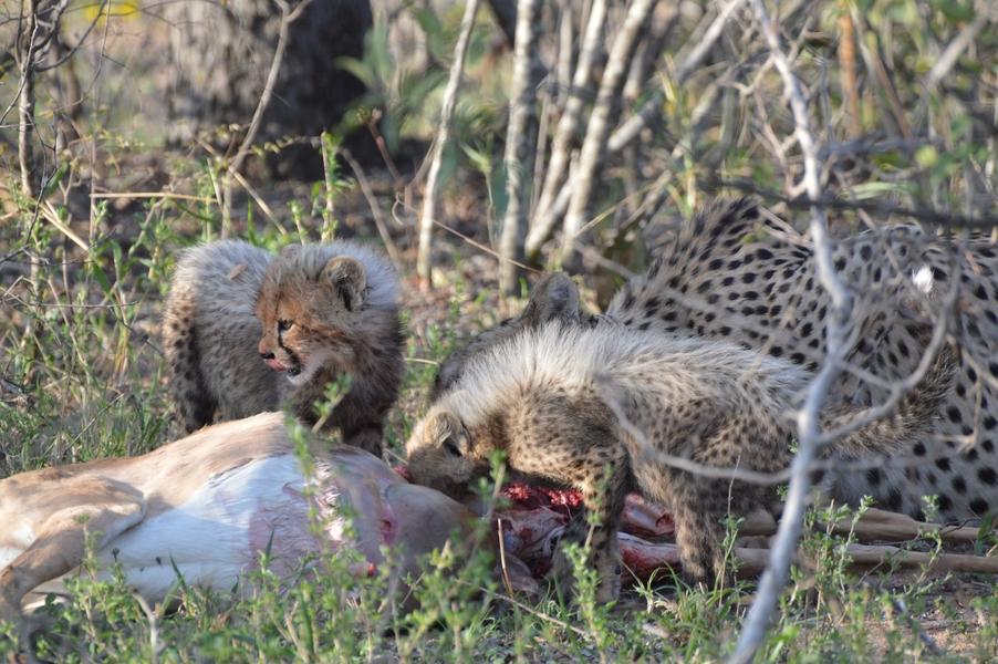 guepard Karongwe (3)