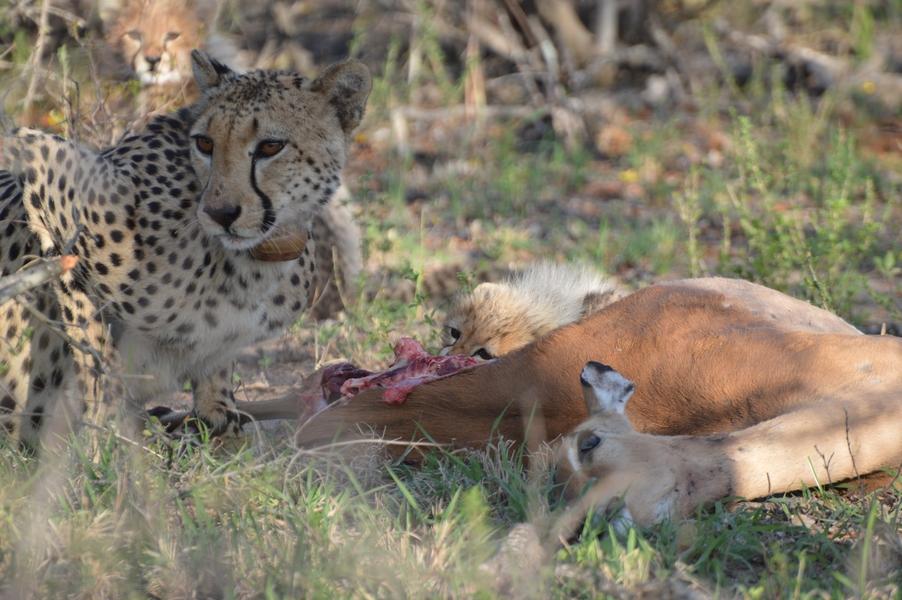 guepard Karongwe (5)