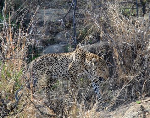 leopard Karongwe (5)