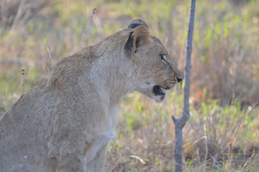 lion Karongwe (1)