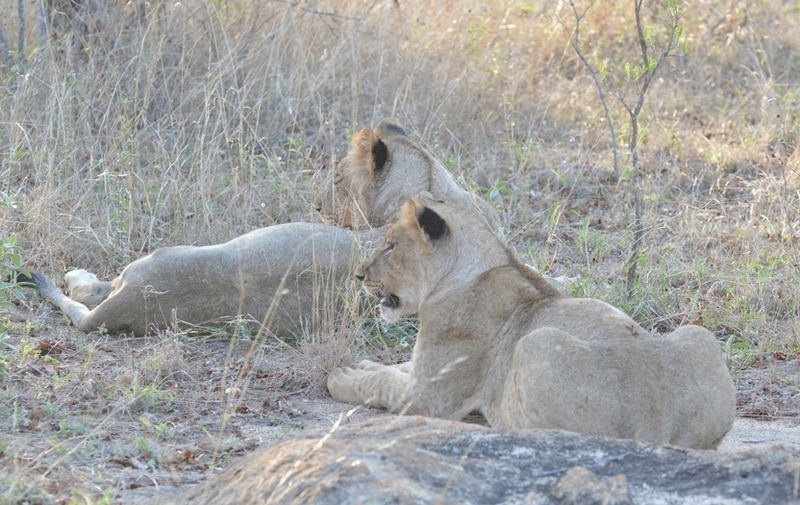 lion Karongwe (5)