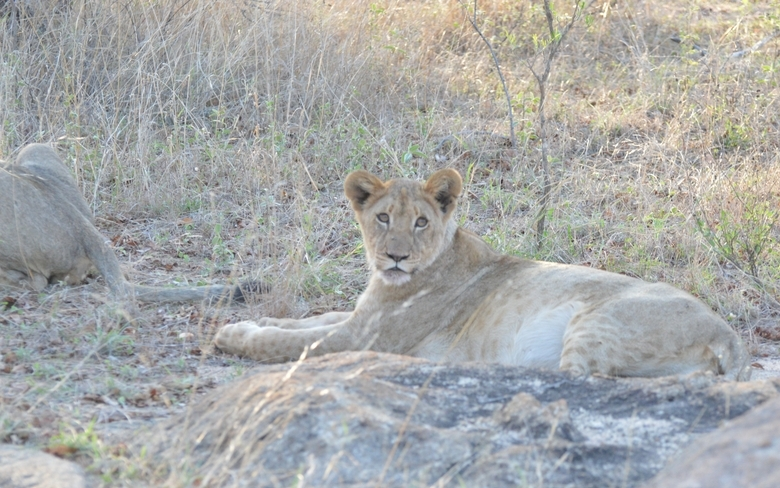 lion Karongwe (6)
