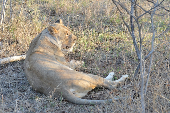 lion Karongwe (9)