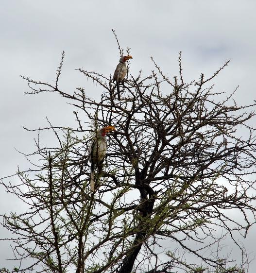 oiseau Calao leucomèle 2 Karongwe