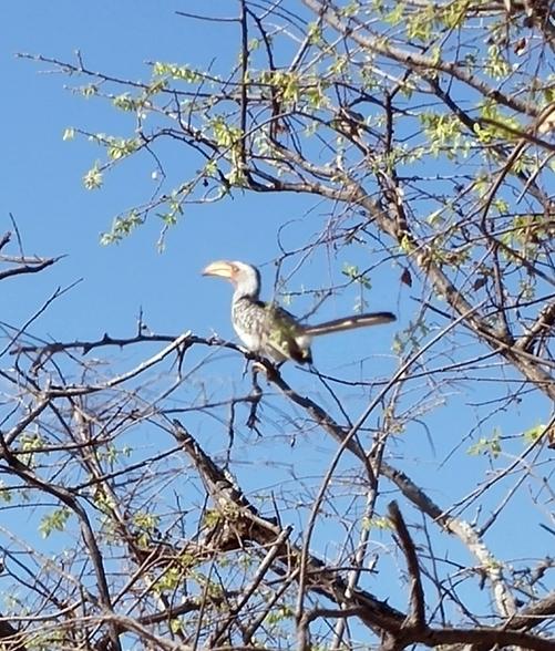 oiseau Calao leucomèle Karongwe