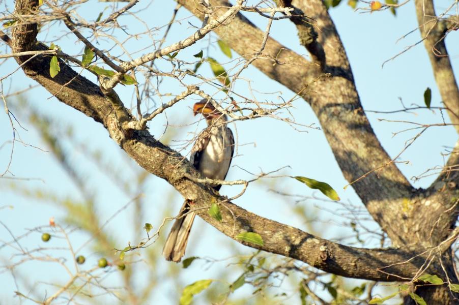 oiseau Calao leucomèle face Karongwe