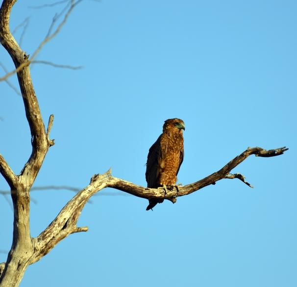 oiseaux aigle Karongwe