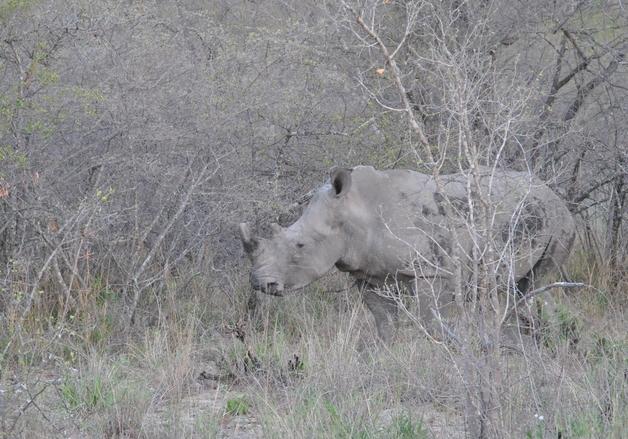 rhino Karongwe (1)