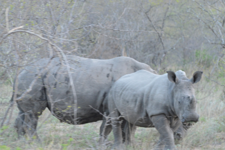 rhino Karongwe (2)
