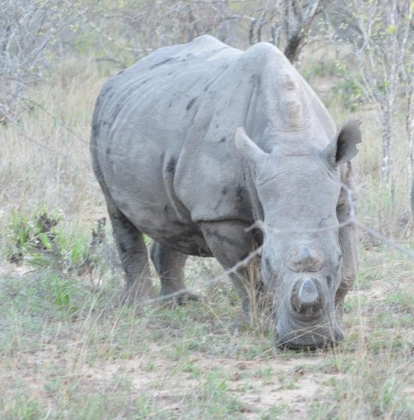 rhino Karongwe (3)