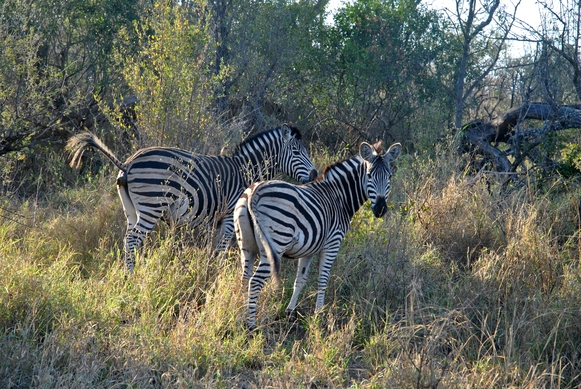 zebre Karongwe