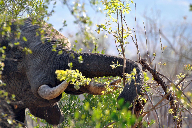 Elephant branche kruger
