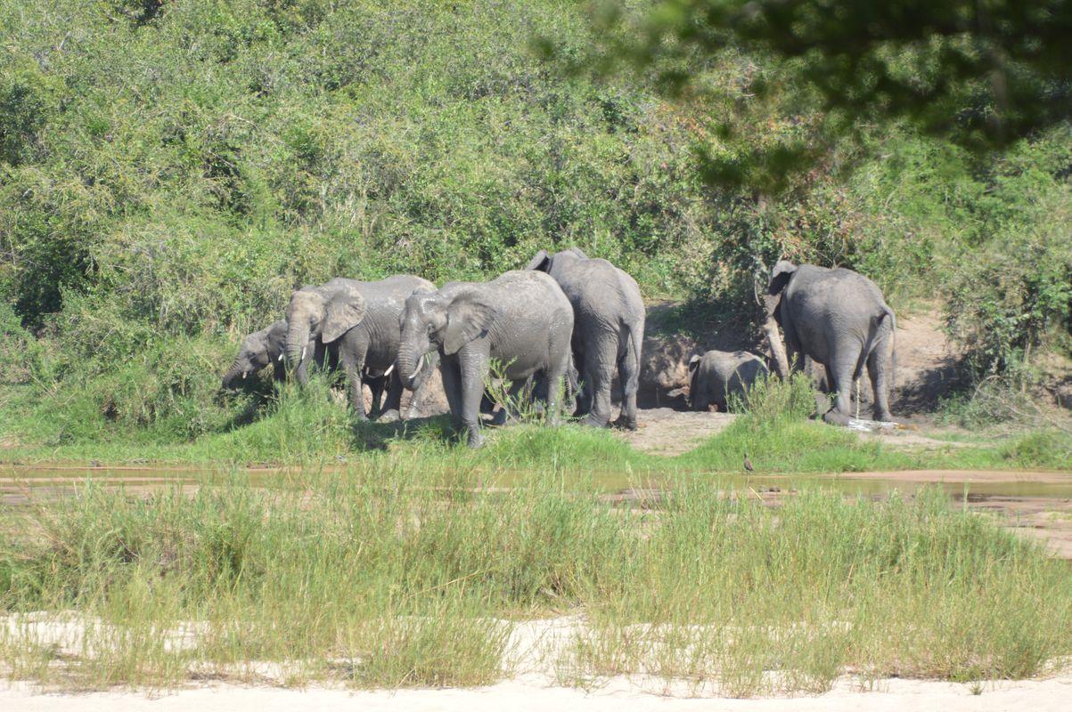 elephant groupe kruger