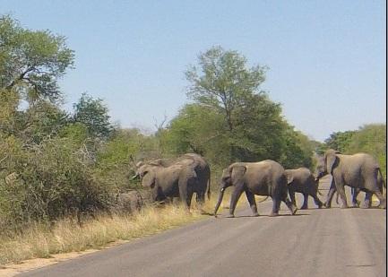 elephant troupeau route kruger