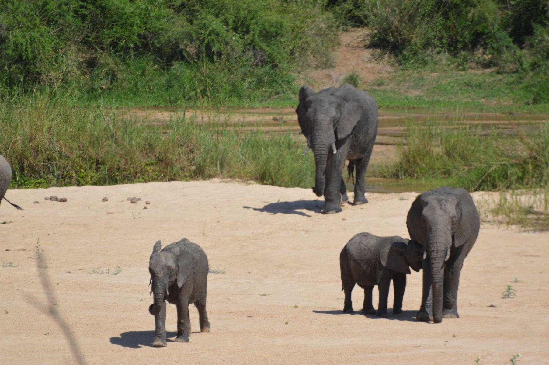 elephants famille kruger