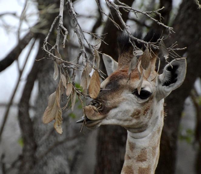 girafeau kruger