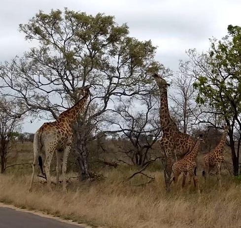 girafes broutant kruger
