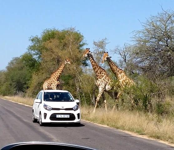 girafes et voiture kruger