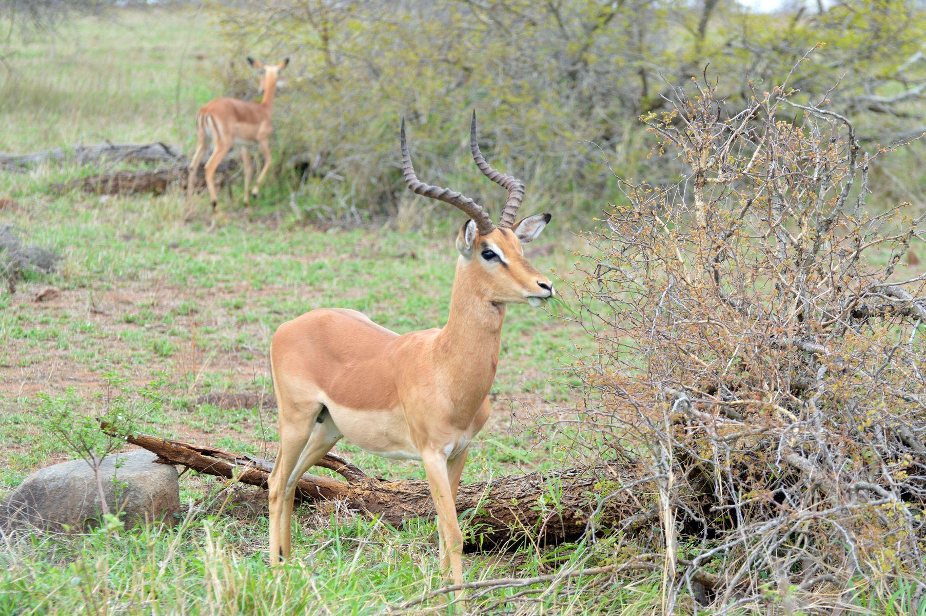 impala beau male kruger