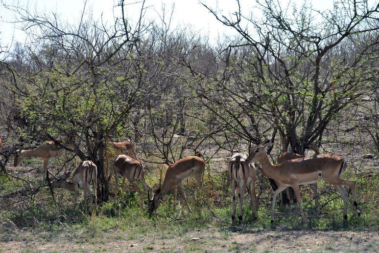 impala groupe kruger