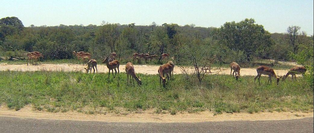 impala troupeau kruger