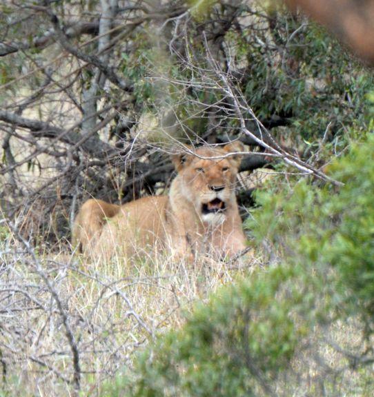 lions gros kruger