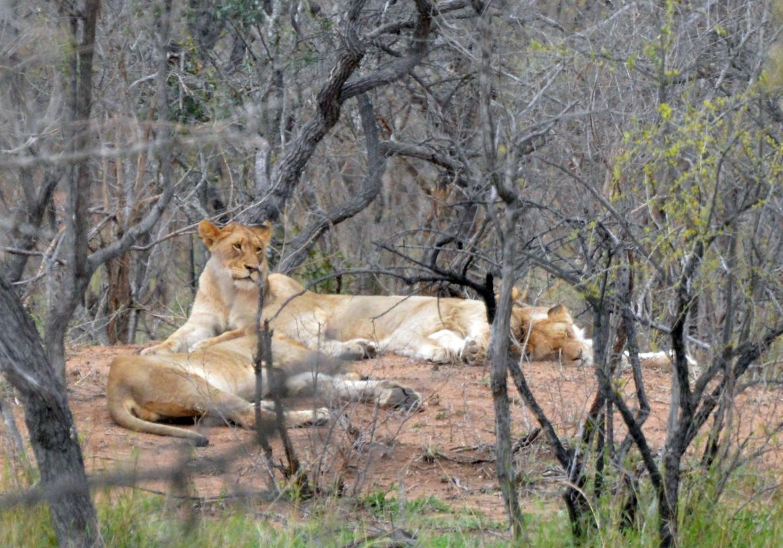 lions repus kruger