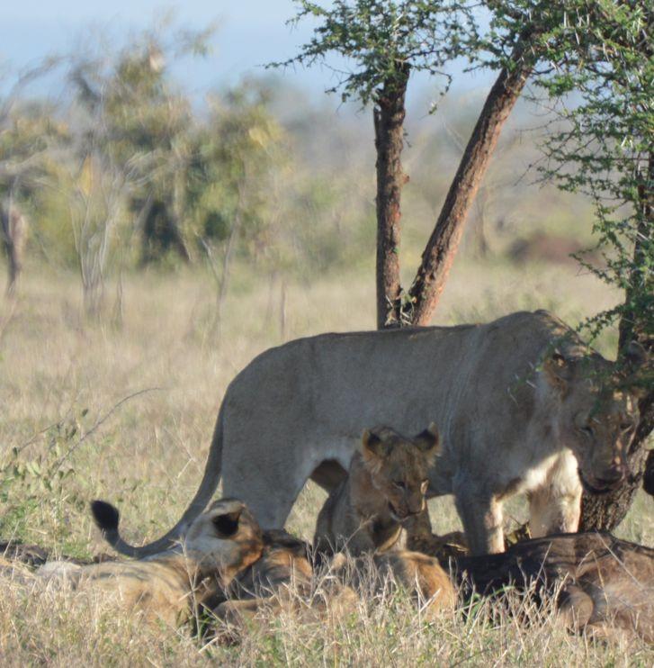lions sous arbre kruger