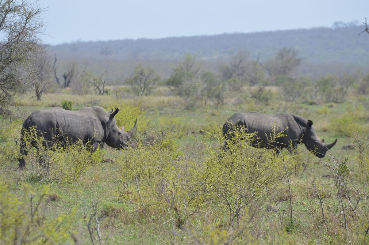 rhinocouple kruger