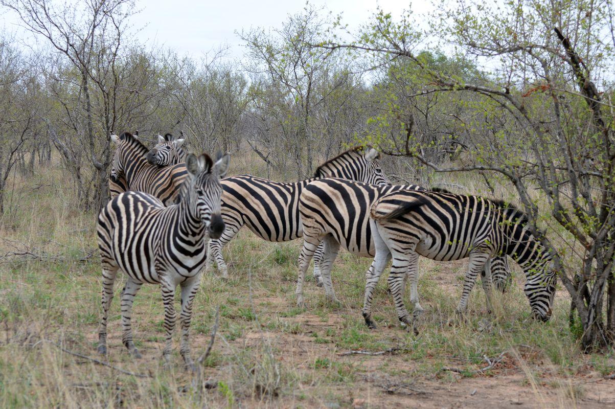 zebres groupe kruger