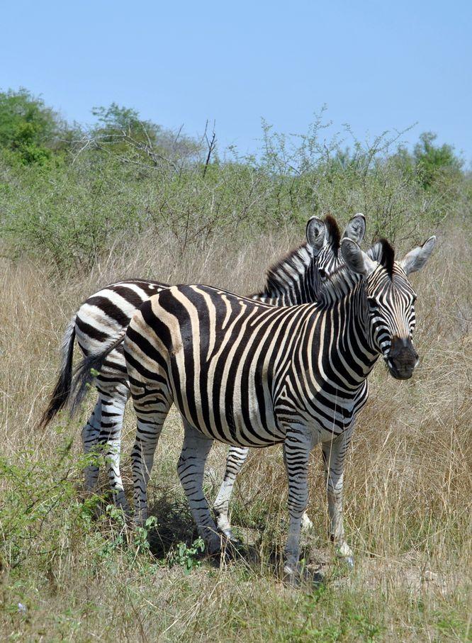 zebres kruger