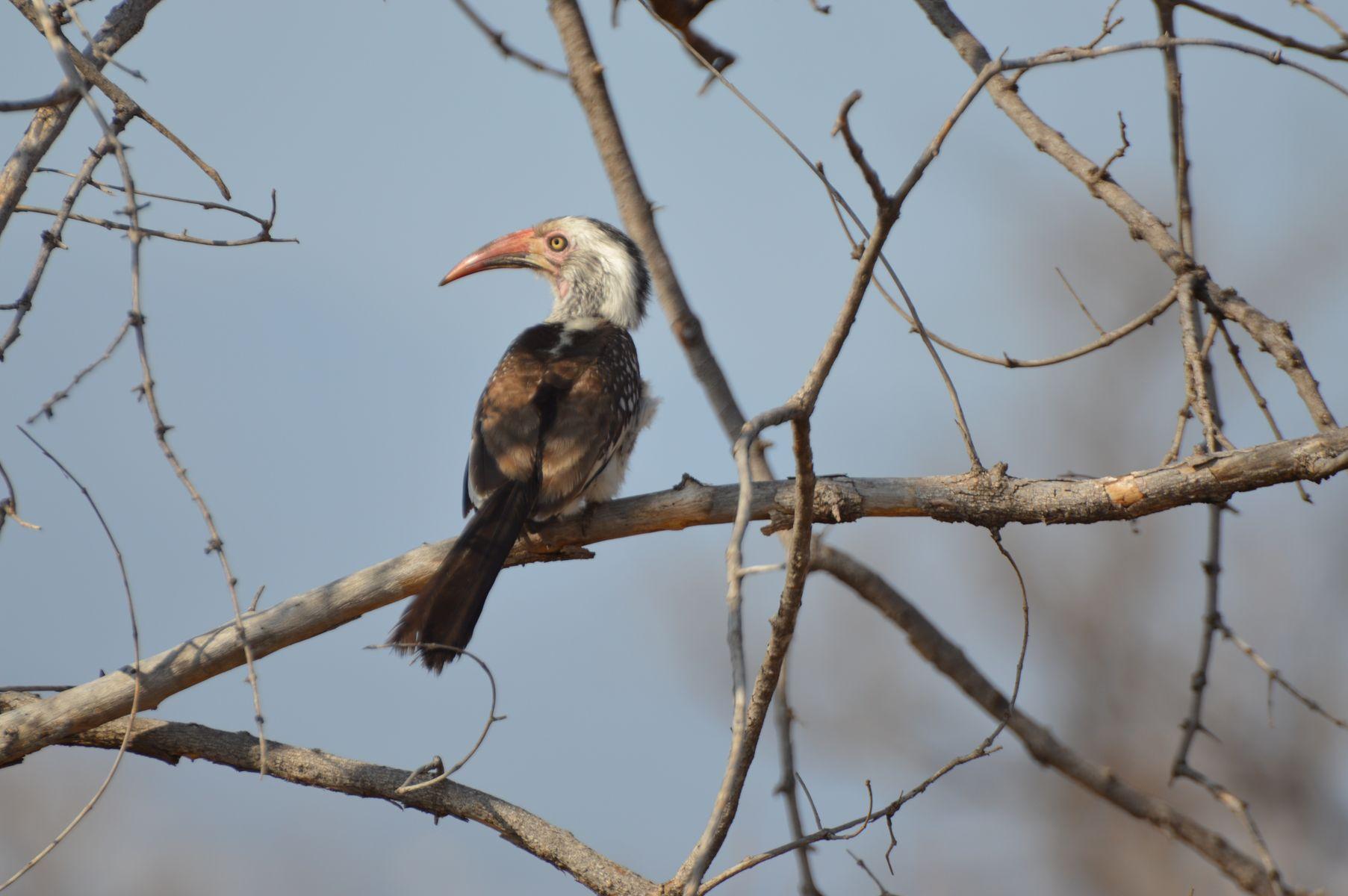 oiseau Calao leucomèle kruger