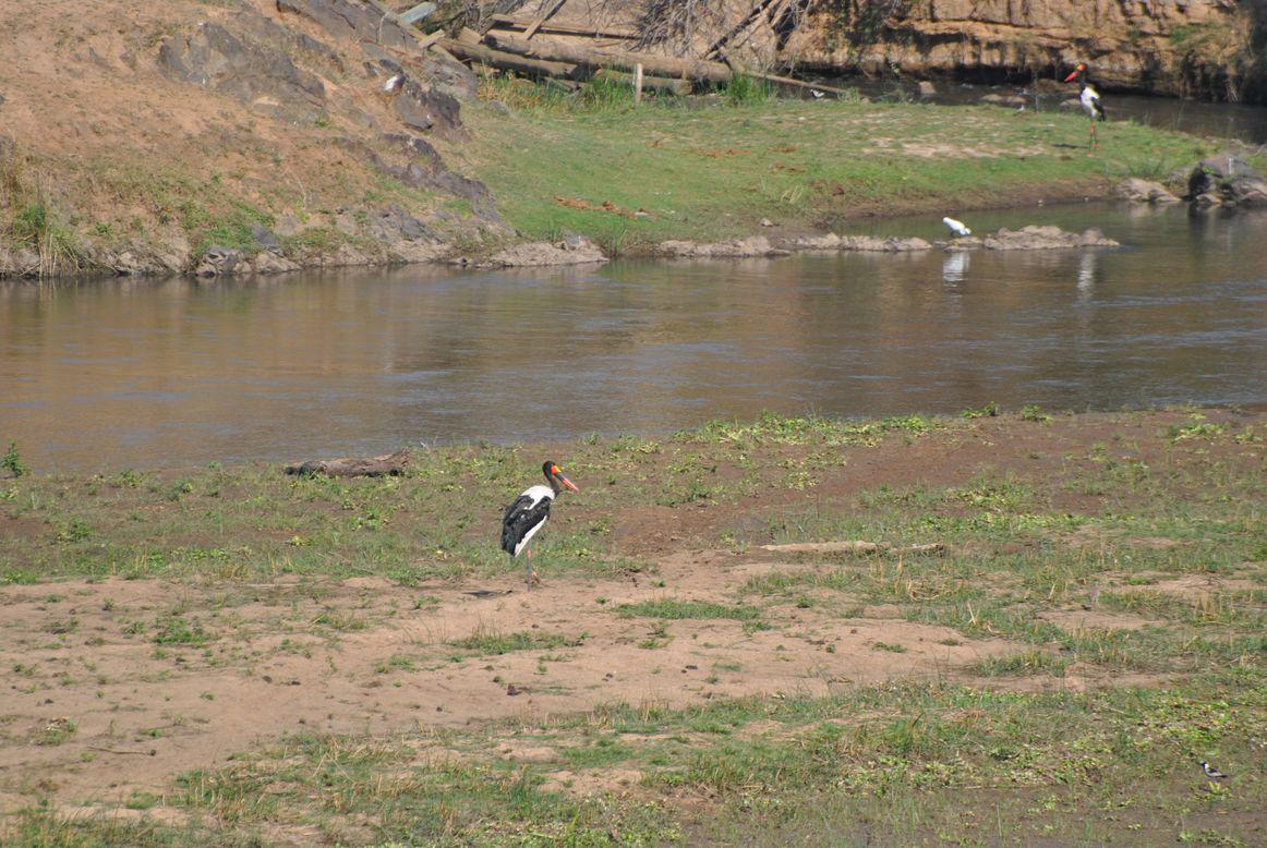 oiseau le jabiru d afrique kruger