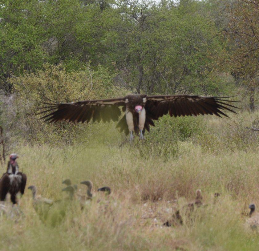 rapaces vautour moine kruger