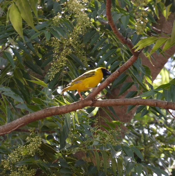 swaziland oiseau