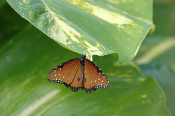 papillon (7)