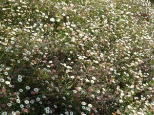 fleurs de la plaine
