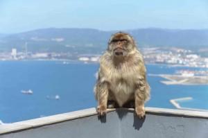 gibraltar macaque berbere