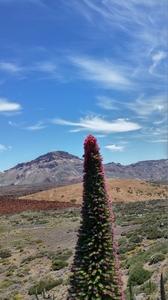 tajinaste du Teide