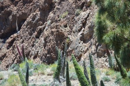 tajinastes du Teide